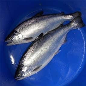 Cawthron-AQ-finfish-salmon